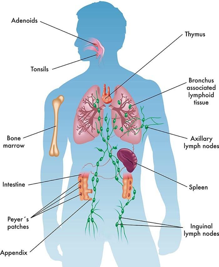 Immune System Anatomy
